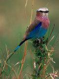 Lilac Breasted Roller  Masai Mara  Kenya
