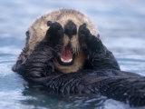 Sea Otters  Alaska  USA