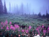 Foggy Alpine Meadow  Mt Rainier National Park  Washington  USA