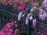 Azaleas and Wisteria Bloom at Bonaventure Cemetery  Savannah  Georgia  USA