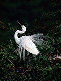 Great Egret in Courtship Display