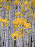 Aspen Grove on Fish Lake Plateau  Fishlake National Forest  Utah  USA
