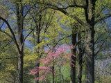 Eastern Redbud Among Oak Trees  Kentucky  USA