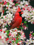 Male Northern Cardinal among Crabapple Blossoms