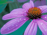 Purple Cone Flower with Water Drops