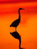 Great Blue Heron Fishing at Sunset  Sanibel Island  Ding Darling National Wildlife Refuge  Florida