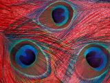 Peacock Feathers Pattern  Washington  USA