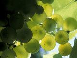 Semillion Grape Cluster in Veraison  Seven Hills Vineyard  Umatilla County  Oregon  USA