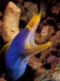 Blue Ribbon Eel, Papua New Guinea Papier Photo par Michele Westmorland