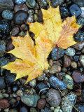 Maple Leaves on Pebble Beach  Lake Superior  Pictured Rocks National Lakeshore  Michigan  USA