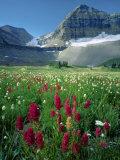Paintbrush in Uinta National Forest  Wasatch Mountains  Mount Timpanogos Wilderness  Utah  USA