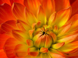 Dahlia Flower with Pedals Radiating Outward  Sammamish  Washington  USA