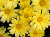 Yellow Daisies  Bellevue Botanical Garden  Washington  USA