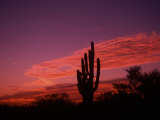 Colorful Cactus in the Sunset  Arizona  USA
