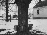 Three Pails Laying Against the Tree for Catching Maple Being Tapped in the Catskill Mt Region