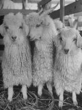 Three Angora Goats  Raised on Ranch for Their Fleece  Known Commercially as Mohair