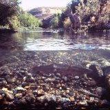 Rainbow Trout Resting in Tributary of Madison River with Fawn Drinking at Water's Edge