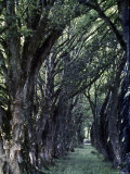 Tree Lined Path Once Led to Estate of Lady Augusta Gregory  Patron of Irish Writers