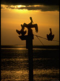 Pelicans in the Sunset at Key Biscayne  Florida