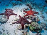 Sea Stars  Hood Island  Galapagos Islands  Ecuador