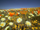 Poppies and Desert Dandelion in Spring Bloom  Lancaster  Antelope Valley  California  USA