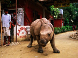 An Orphan Baby Indian Rhinoceros Standing in a Street  Royal Chitwan National Park  Sauraha  Nepal