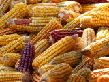 View of Ears of Organic Corn in Bussunaritz  Southwestern France  Saturday  October 28  2006