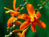 "Crocosmia ""Jupiter "" Close-up of Orange Flower Head"