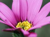"Osteospermum ""Blackthornes Seedling"" March Perennial (African Daisy)"