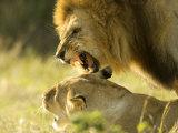 Lions  Lion Pair Mating  Masai Mara  Kenya