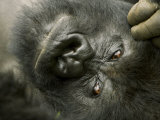 Mountain Gorilla  Close-up of Face  Scratching Head  Africa