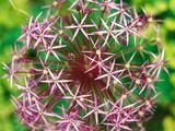 Allium Christophii  Close-up of Purple Flower Head