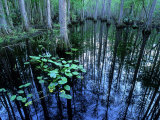 Water-Lilies in Bald Cypress Swamp  USA