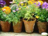 Annuals in Pots  Brachycome Multifida  Viola & Tagetes Pebble Chelsea Flower Show 1997