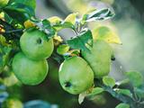 Apples Growing on Tree September