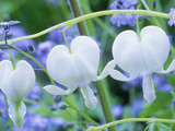 Dicentra Spectabilis Alba and Myosotis Sylvatica (Bleeding Hearts and Forget Me Not)  White Flower