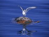 Loggerhead Turtle  with Tern on Back  Azores  Atlantic Ocean