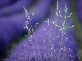 Lavender Fields in Flower  France