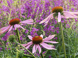 Echinacea Purpurea Magnus and Lythrum Virgatum (Purple Conflower and European Wand Loosestrife)