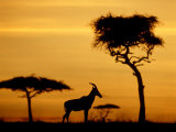 Topi at Sunrise  Kenya