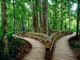 Boardwalk Around Four Sisters Kauri Trees  Waipoua Kauri Forest  New Zealand