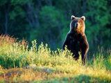 Grizzly of Kronotska National Park  Kamchatka  Russia