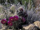 Strawberry Hedgehog  Saguaro National Park  Arizona  USA