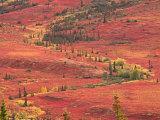 Tundra of Denali National Park  Dwarf Willow and Bear Berry  Alaska  USA