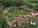 Coneflowers Around Water Garden  Louisville  Kentucky  USA