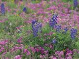 Bluebonnets among Phlox  Hill Country  Texas  USA