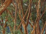 Madrona Trees on the San Juan Islands  Washington  USA