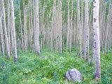 Aspen Grove in McClure Pass  Colorado  USA