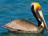 Male Brown Pelican in Breeding Plumage  Mexico