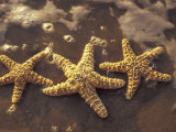 Starfish and Surf at Sunset  Maui  Hawaii  USA